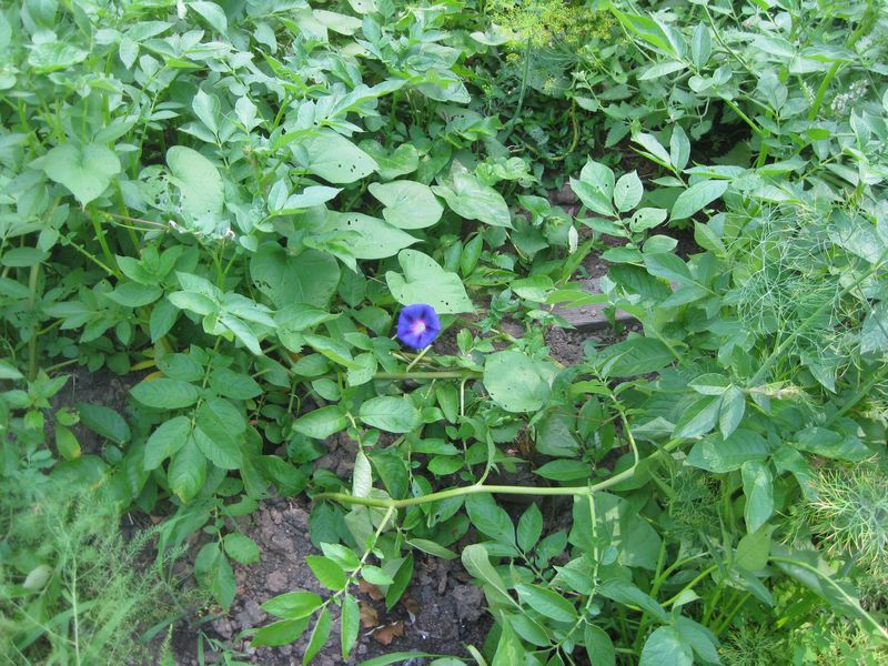 11Morning Glory in the potatoes
