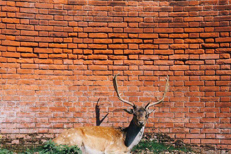 Red-bricks-wall-deer