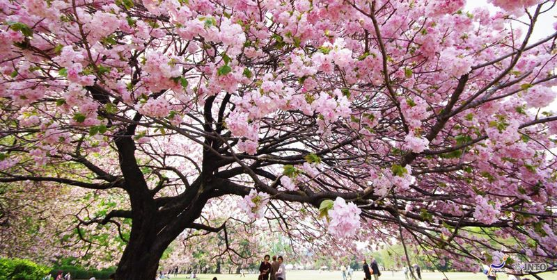JAP14_cherrytree_large