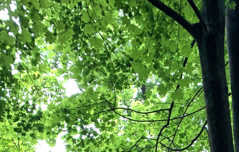 Looking for the tulip tree